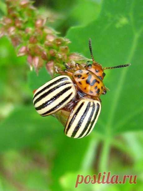 Не успели посадить, а уже колорадские жуки. Избавилась от них при помощи народного средства, без химии