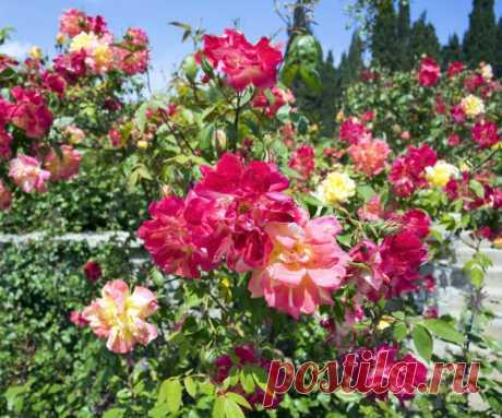 Омоложение роз содой — простой и проверенный способ   Идеальный огород   Яндекс Дзен