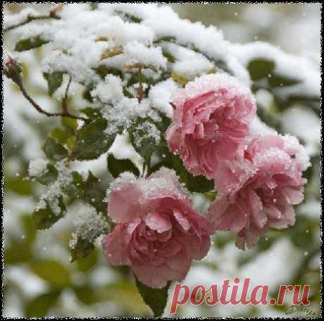 А снег не зал,что розе больно, Она так нравилась ему, Её он обнимал,ласкал снежинками, Любовь показывал свою...  Она не плакала....тихонько увядая, Снег морозил лепестки,шипы, Его не понимала роза... Ну,почему он груб,морозит лепестки её,  Она ведь так мила ,красива, Её все любят ,берегут, Не знала,что холодным снег бывает, Даже тогда,когда безумно он влюблён...