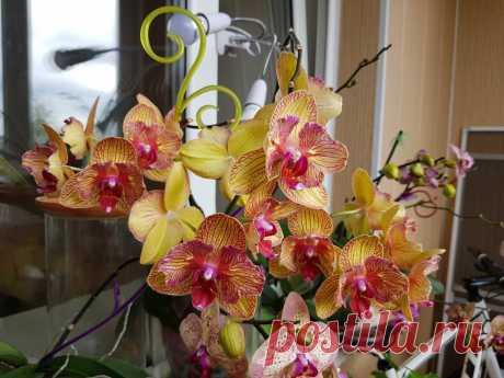 Пышное цветение орхидеи. Причина на которую никто не обращает внимания. | Все о цветах | Яндекс Дзен