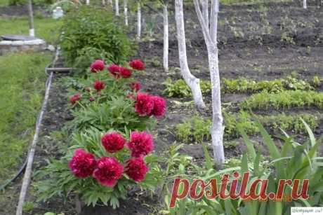 Чтобы пионы пышно цвели — Садоводка