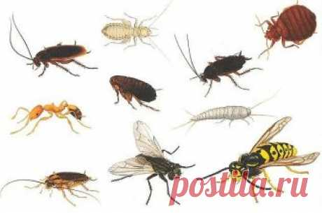 HOW TO STRUGGLE WITH HOUSEHOLD INSECTS?\u000d\u000a\u000d\u000a1. FLIES. Room flies do not take out a tansy smell: if in the room there is this plant, flies will fly away.\u000d\u000a\u000d\u000a2. Less flies will fly in a window if to grease frames with vinegar.\u000d\u000a\u000d\u000a3. Flies do not take out a smell of wax, turpentine, castor oil, and most of all — kerosene.\u000d\u000a\u000d\u000a4. When you wash windows and the floors, add a little kerosene to water. Tighten windows a gauze in two layers in the summer or hang up the paper cut by strips on a window leaf.\u000d\u000a\u000d\u000a5. The old and tested way...