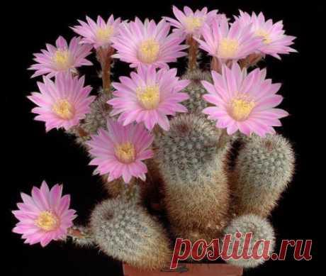 И снова о кактусах.... Мифом является мнение о том, что кактус цветет всего один раз в жизни. Это всего лишь красивая легенда. Если растение здорово, оно цвете каждое лето. Из кактусов...