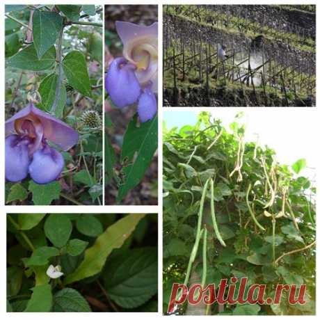 Вигна, Vigna, спаржева квасоля, Маш, Адзукі (зернобобовая культура) вирощування, посадка, догляд