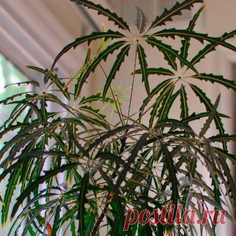 Комнатное растение Дизиготека (Dizygotheca). Род включает около 17 видов вечнозеленых растений, встречающихся в Новой Каледонии и Полионезии. В комнатных условиях дизиготека может вытянуться вверх на высоту 1,2-1,8 м. Цветение - не самая яркая ее черты. Мелкие и невзрачные цветки дизиготеки собраны в верхушечные зонтичные соцветия. Растения выращивают ради красивых резных буро-зеленых листьев. Размножение возможно в тепличке черенками, оставшимися после обрезки.