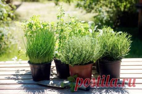 Выращиваем дома тимьян, эстрагон, чабер и иссоп