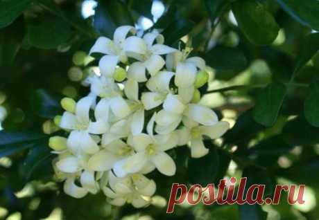 Муррайя – аромат здоровья и оптимизма