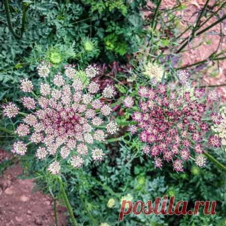 Dara Queen Anne's Lace Flower — Яндекс: нашлось 15млнрезультатов