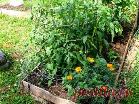 Что посадить с томатом? Хорошие и плохие растения-компаньоны для помидоров. Фото — Ботаничка.ru