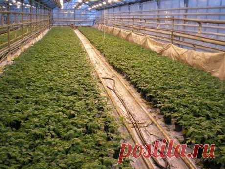 Сорта томатов для Средней полосы России: мой многолетний опыт / томаты / 7dach.ru