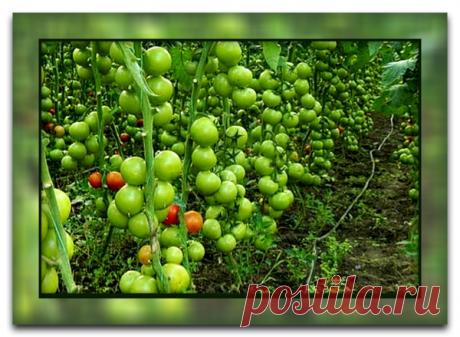 Как и зачем обрывать листья у томатов, чтобы получить большой урожай, и почему этот способ так популярен