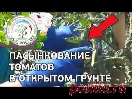 Как пасынковать томаты. Формирование томатов в открытом грунте.