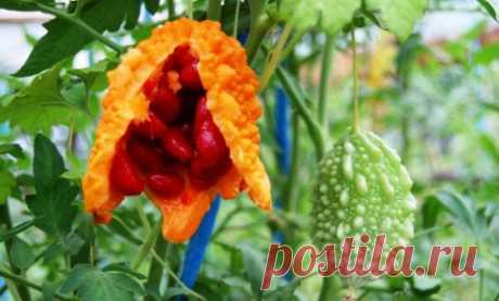 Выращивание момордики — Огород без хлопот