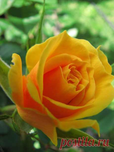 Flower Love Yellow Rose Maria on Flickr