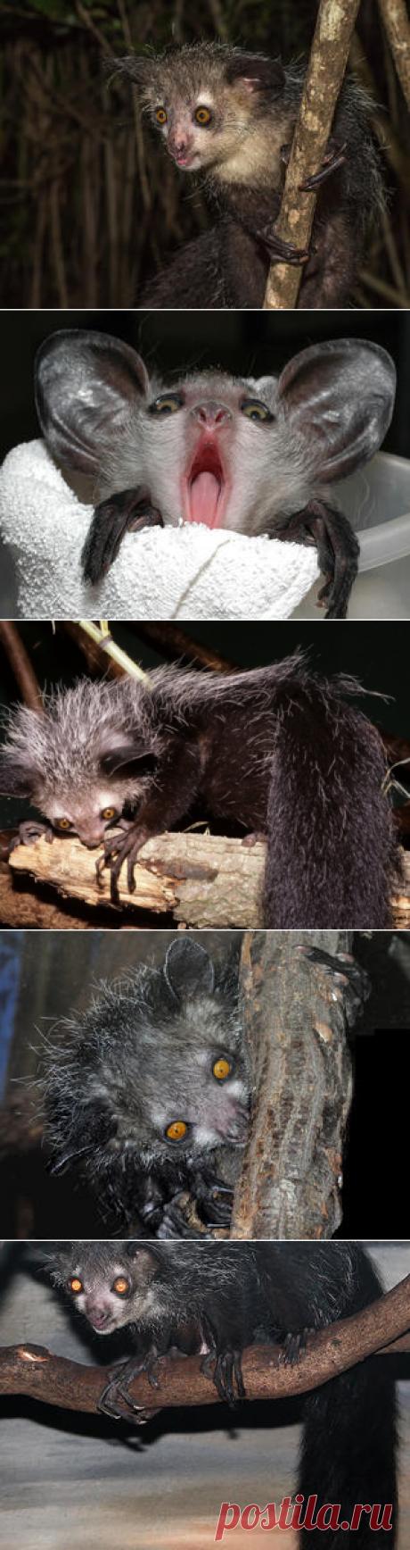 Смотреть изображения мадагаскарских руконожек | Зооляндия