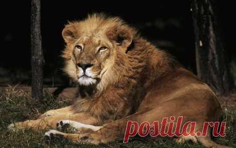 Азиатский лев фото