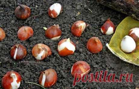 7 распространенных ошибок, которые допускают дачники при посадке тюльпанов осенью