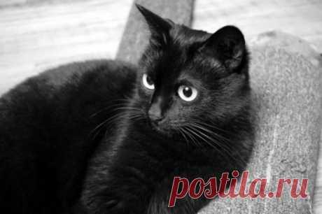 10 замурчательных фактов о черных кошках