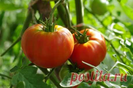 КАК ПОДКАРМЛИВАТЬ ТОМАТЫ И НЕ ПЕРЕКОРМИТЬ! Первую подкормку томатов, высаженных в открытый грунт, лучше всего провести в конце мая или первой декаде июня из расчета 1 ст. ложка нитрофоски, пол-литра коровяка, 1-2 таблетки микроудобрений, 0,5 ч. ложки борной кислоты на 10 л воды. Под каждый куст выливают по 1 л приготовленной...