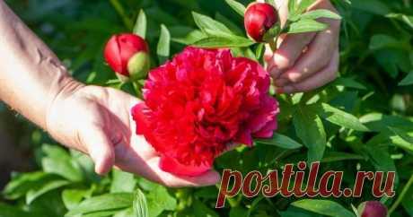 5 секретов пышного цветения пиона от специалиста Пионы любимы нашими садоводами и растут практически в каждом палисаднике. Однако у одних это огромные кусты, сплошь усыпанные цветами, у других – тоже солидные, да бутонов на них раз-два и обчелся. А причина, как правило, в уходе за растениями.