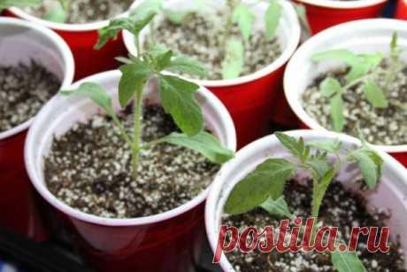 El modo chino de la cultivación de las plantas de los tomates