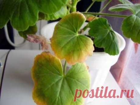 Почему у герани сохнут листья? Герань — это одно из самых красивых и знаменитых видов комнатных растений. Оно известно и популярно из-за своей неприхотливости, яркого вида и целебных свойств. Если уход за геранью правильный, то все…