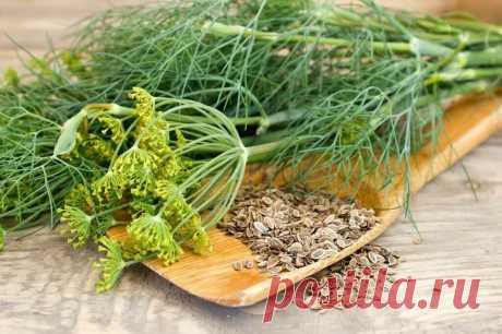 А вы знали, что семена укропа так полезны? Рассказываю, как они влияют на наш организм и здоровье в целом | Игорь Ботоговский | Яндекс Дзен