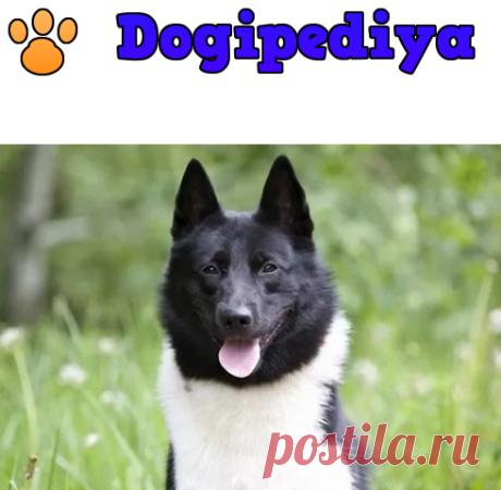 Русско-европейская лайка – фото, описание породы, характер, цена щенков