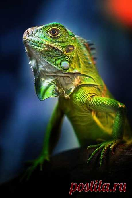 (1218) Lizards   Animals, rodents & reptiles (Eeww!)