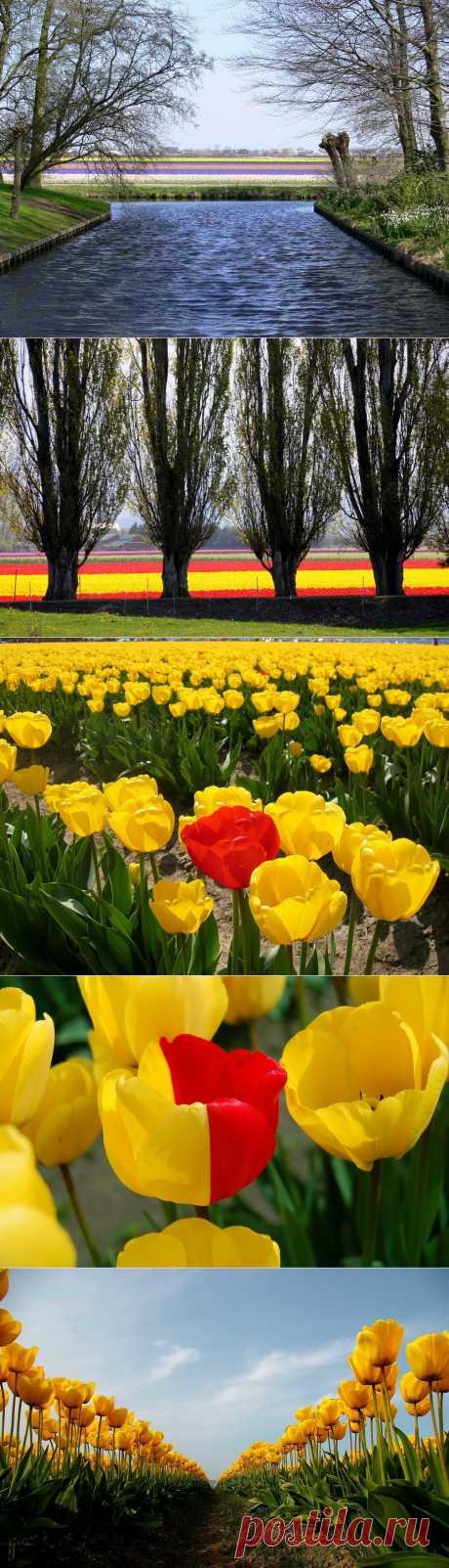 » Поля тюльпанов Это интересно!