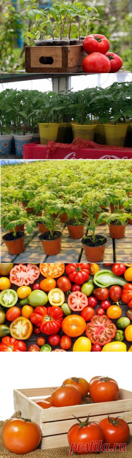 Сроки посадки помидор на рассаду в 2017 в средней полосе
