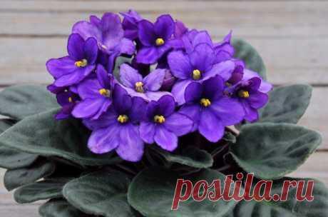 10 дешевых средств для пышного цветения фиалки | 6 соток