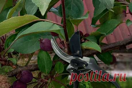 Обрезка летом плодовых деревьев — 7 плюсов, помогающих максимально увеличить урожай — как и когда обрезать   Дача - это маленькая жизнь   Яндекс Дзен