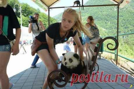 En Sochi a los turistas invita a fotografiarse con la panda   el Diablo toma
