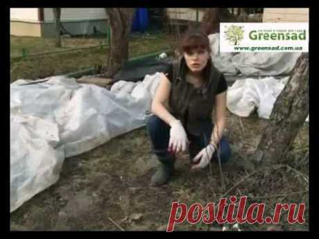 Обработка розария медным купоросом. - YouTube