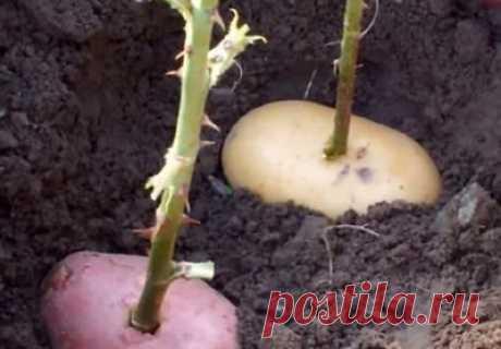 Как вырастить розу из подаренного букета (личный положительный опыт) | У-Дачный канал советы от Арины | Яндекс Дзен