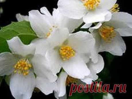 Мой любимый цветок – жасмин | Друг пенсионера