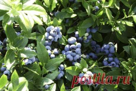 Садовая голубика - выращивание из семян с видео Все о том, как вырастить садовую голубику на своем участке. Все нюансы посадки и ухода с фото и видео