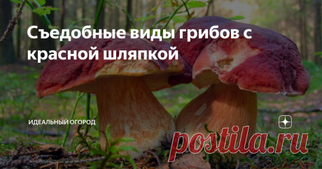 Съедобные виды грибов с красной шляпкой В природе можно встретить огромное количество грибов с красной шляпкой. Практически все они имеют достаточно привлекательный вид, но неопытный грибник должен знать, что многие из них таят большую опасность. Чтобы не нарваться на ядовитых и несъедобных представителей, нужно знать их основные отличительные особенности.