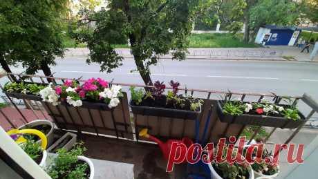 Цветы на балконе. Петуния.