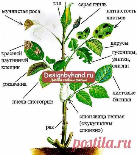 Вредители и болезни садовой розы. Профилактика и лечение. Фото вредителей розы