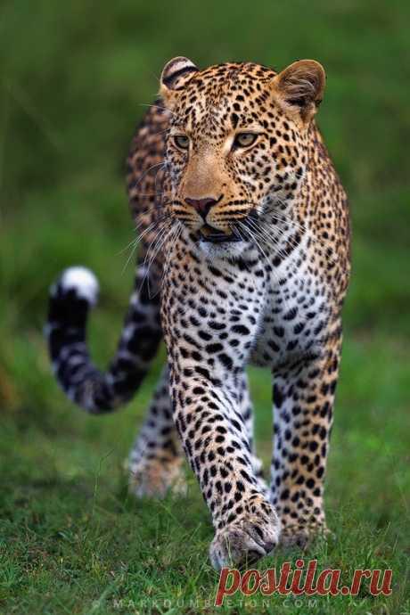 Legendary Scholar — wowtastic-nature: 💙 Mara Leopard on 500px by Mark...