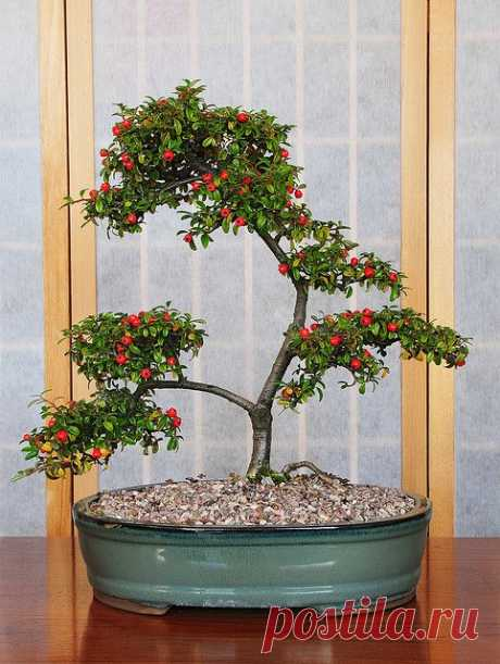 Cotoneaster (Cotoneaster horizontalis) Bonsai Tree with Berries   |  Pinterest