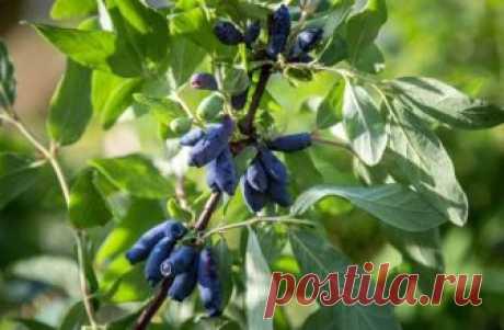 4 способа размножения жимолости Все больше огородников стараются посадить на участке жимолость, ягоды которой богаты витаминами и минералами. Культура относится к ранним, так как плоды созревают к концу весны. Существует несколько с...