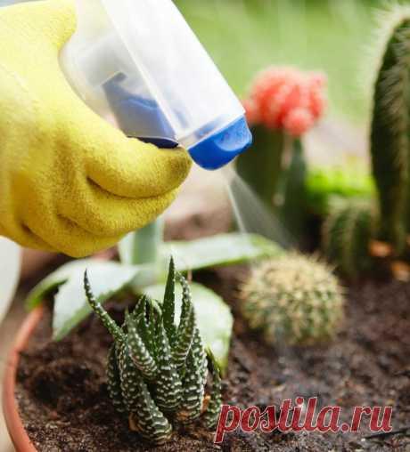 Полив кактусов - как правильно поливать различные виды кактусов и суккулентов (165 фото)