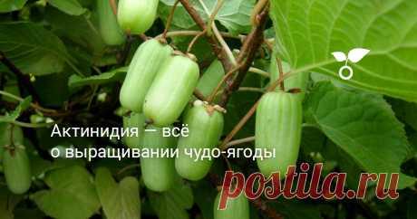 Актинидия — всё о выращивании чудо-ягоды Высаживать актинидию можно как весной, так и осенью, но, учитывая южные корни этого растения, предпочтительно все же делать это именно весной. Рекомендуем для посадки выбирать в питомнике саженцы, которым как минимум два года