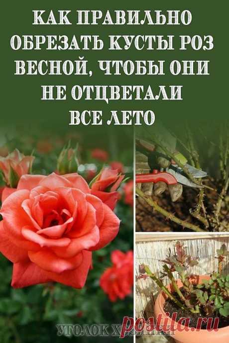 Не последнюю роль в жизни розы играет её обрезка. Ведь от того, насколько правильно будет выполнен этот процесс, зависит продолжительность жизни и цветение этого цветка.Основные правила обрезки кустарниковой розы:
