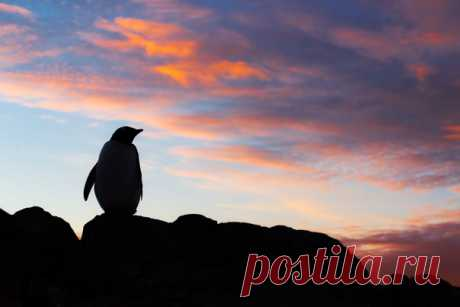 Папуанский пингвин любуется антарктическим закатом. Фотографировал Вадим Балакин: nat-geo.ru/community/user/37685/. Доброй ночи.