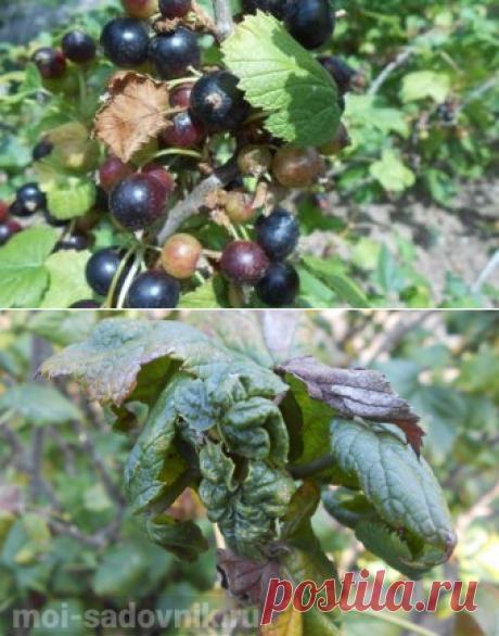 Опрыскиваем смородину от тли в период плодоношения