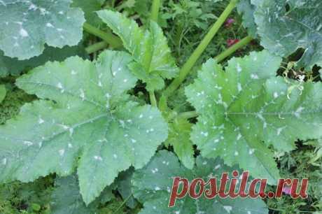 Что делать с ботвой кабачков после уборки последнего урожая — Садоводка